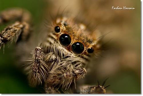 Carrhotus Fabrei
