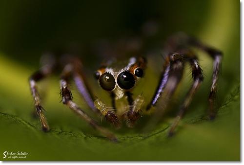 Female Epeus Indicus