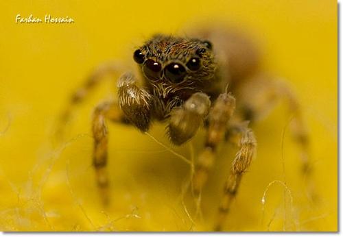 Female Juvenile Hasarius Adansoni